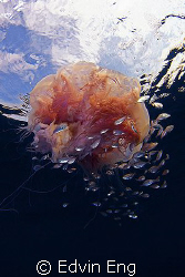 Jelly In The Sky! by Edvin Eng 